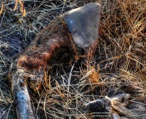 Decaying hoof of a Kiger Mustang wild horse
